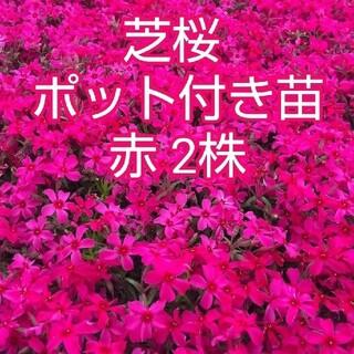 芝桜 ポット付き苗 赤 2株(その他)