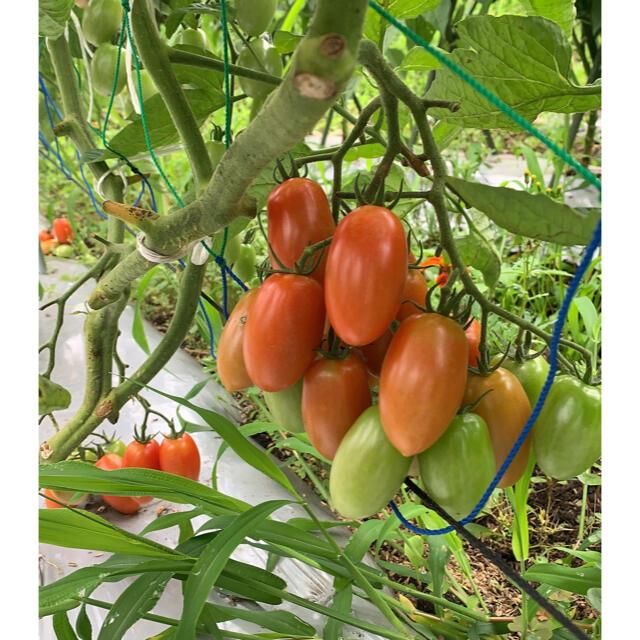 無農薬 最盛期フルーツトマト 900g以上 食品/飲料/酒の食品(野菜)の商品写真