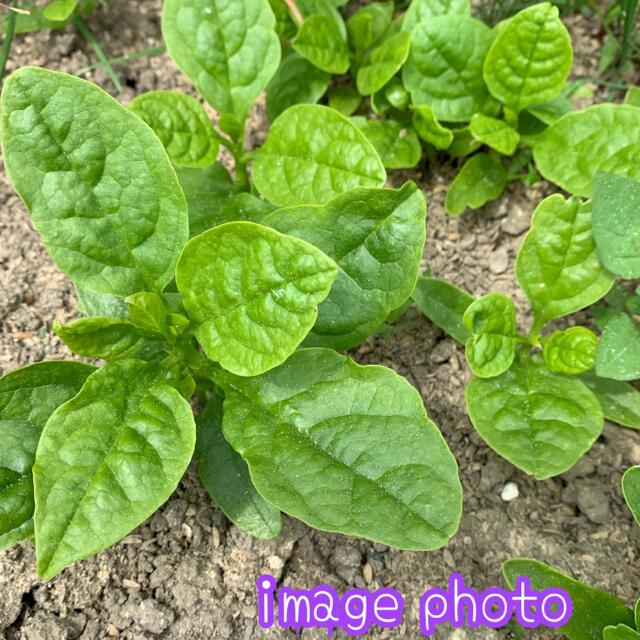 無農薬野菜*ツルムラサキの苗3本セット+予備1本*暑さに強く育てやすい!* 食品/飲料/酒の食品(野菜)の商品写真