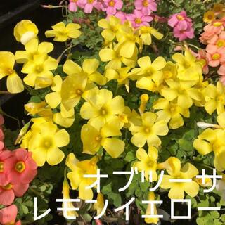 ☆値下げ☆レア☆オキザリス オブツーサ LemonYellow 球根 4個(プランター)