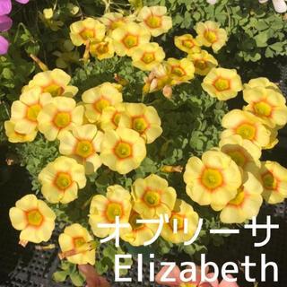 ☆値下げ☆超レア☆オキザリス オブツーサ Elizabeth 球根 4個(プランター)