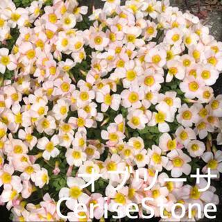 ☆値下げ☆超レア☆オキザリス オブツーサ CeriseStone 球根 4個(プランター)