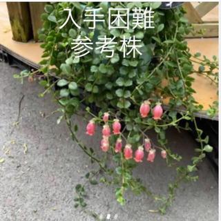 入手困難  多肉植物 カランコエ フィフィ  3カット(その他)