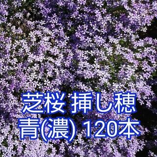芝桜 挿し穂 青(濃) 120本(その他)