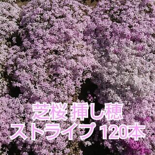 芝桜 挿し穂 ストライプ 120本(その他)