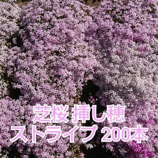 芝桜 挿し穂 ストライプ 200本(その他)