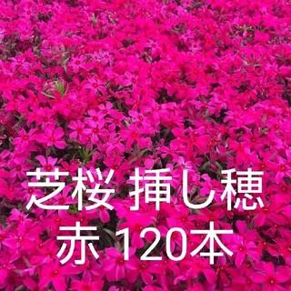 芝桜 挿し穂 赤 120本(その他)