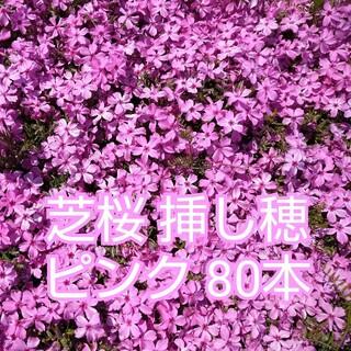 芝桜 挿し穂 ピンク80本(その他)