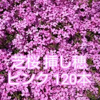 芝桜 挿し穂 ピンク120本(その他)