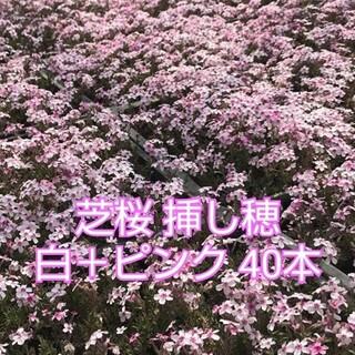 芝桜 挿し穂 白+ピンク40本(その他)