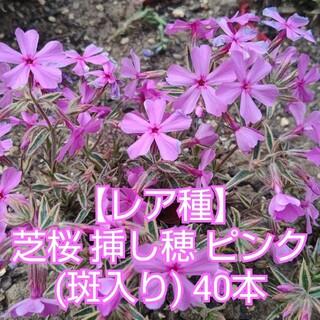芝桜 挿し穂 ピンク(斑入) 40本(その他)