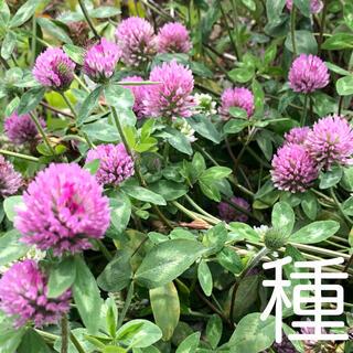種☘️赤詰草 白詰草 ニゲラ(その他)