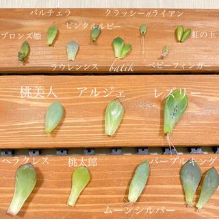 * 多肉植物 15種 葉挿しセット *(その他)