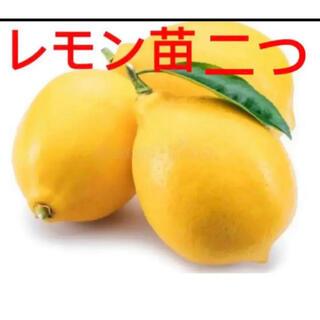 植物 レモン抜き苗 二つ