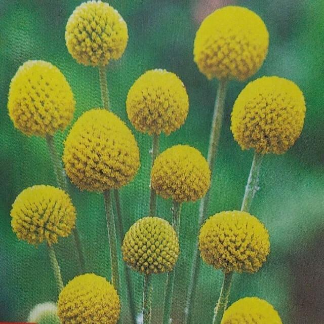 花の種      ゴールドスティック+おまけ ハンドメイドのフラワー/ガーデン(その他)の商品写真