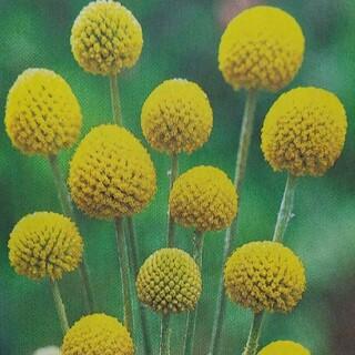 花の種      ゴールドスティック+おまけ(その他)