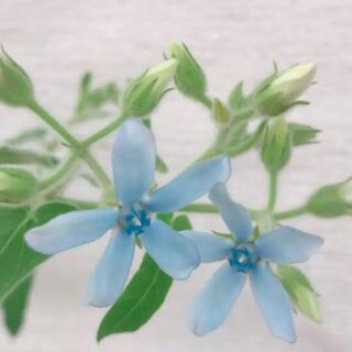 ②   3本立て苗 オキシペタラム  ブルー ポット苗(プランター)