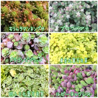 多肉植物 セダム 6種類 カット苗