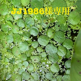 JJ1986様 ドワーフアマゾンフロッグピット マツモ 水草 無農薬(アクアリウム)
