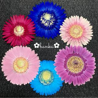 ✿押し花素材✿彩りガーベラ6輪セット【直径約6.5cm〜7.5cm】