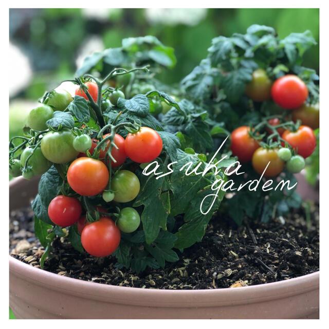 初心者向け!プランターOK!とっても可愛い! ドワーフトマト ミニトマト  食品/飲料/酒の食品(野菜)の商品写真