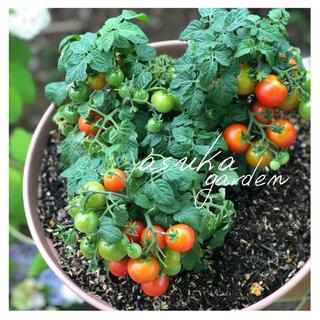 初心者向け!プランターOK!とっても可愛い! ドワーフトマト ミニトマト