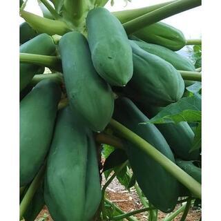 G0802『青パパイヤ 2.5キロ』島野菜 タイアジア食材 グリーンパパイヤ(野菜)