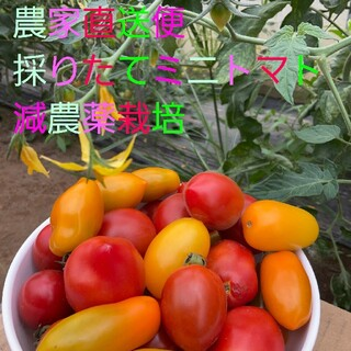 ミニトマト 1.3㌔+重量おまけ付 7種類のセットアイコ、フラガール、チカ他(野菜)