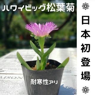 『5株づつ』 ハワイ ジャンボ松葉菊 大輪 根付 希少 ピンク アクリクリ(その他)