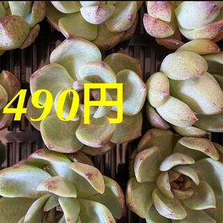多肉植物 エケベリア 韓国苗 ブラックローズ カット苗(その他)