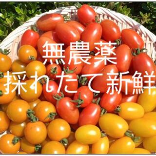 無農薬 最盛期ミニトマト 900g以上(野菜)