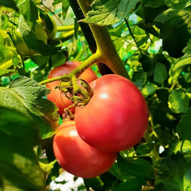 無農薬野菜セット 8月6日以降の収穫 80サイズ クール便 食品/飲料/酒の食品(野菜)の商品写真