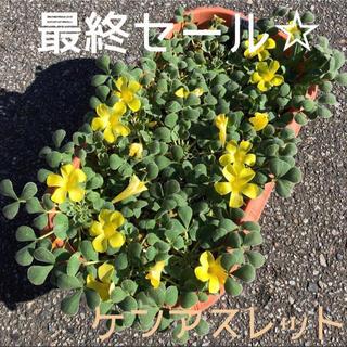 ☆ラスト☆値下げ☆オキザリス ケンアスレット 球根 14個 KenAslet(プランター)