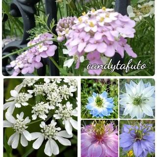 🌺花の種 イベリス キャンディタフト ニゲラ オルレア