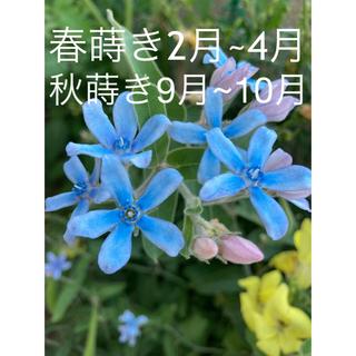 オキシペタラム  ブルースター花の種50粒(その他)