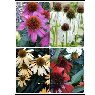 エキナセア Mix  フラダンサー入 花の種6種類セット(その他)