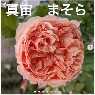 真宙 まそら バラ 薔薇 苗 挿し木 挿木
