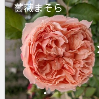 薔薇まそら挿し木苗。(その他)
