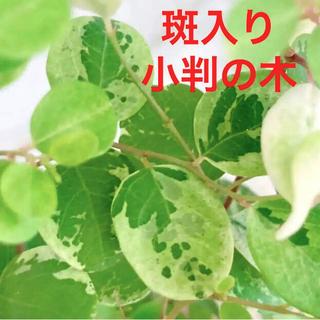 エ 涼しげ 洋種小判の木 斑入りヨウシュコバンノキ スノーブッシュ 希少(プランター)