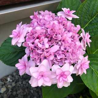 ② 可愛い八重咲き ピンク アジサイの苗(その他)