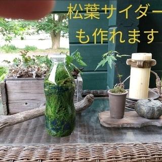 【完全無農薬/即日発送】〈赤松〉松葉 松の葉 新芽のみ 300g (野菜)