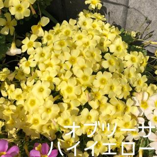 ☆残わずか☆値下げ☆オキザリス オブツーサ HighYellow 球根 5個(プランター)