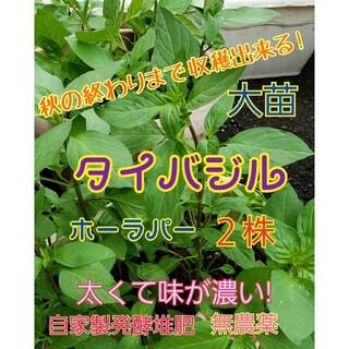 タイバジル大苗 2株 抜き苗 色々な料理に! 丁寧発送♡(野菜)