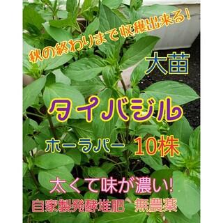 タイバジル大苗 10株 抜き苗 色々な料理に! 丁寧発送♡(野菜)