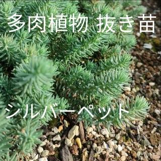 多肉植物 セダム シルバーペット レフレクサム 抜き苗(その他)
