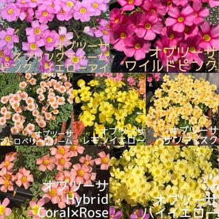 ☆お買い得☆超レア☆オキザリス 全14種各2個セット(プランター)