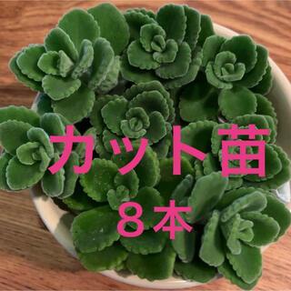 アロマティカス 8カットおまけ付き 多肉植物