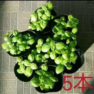 【値下げ】バジル 抜き苗 5本 7/25撮影(その他)