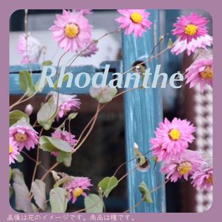 ローダンセ(ピンク色)の種。(その他)