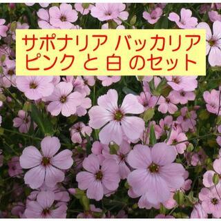 サポナリア バッカリアの種(NF)【ピンク+白・各1袋】説明書付(その他)